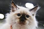 Кошка породы невская маскарадная