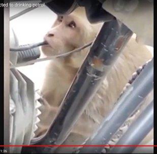 Видеофакт: обезьяну, питающуюся бензином, обнаружили жители Индии