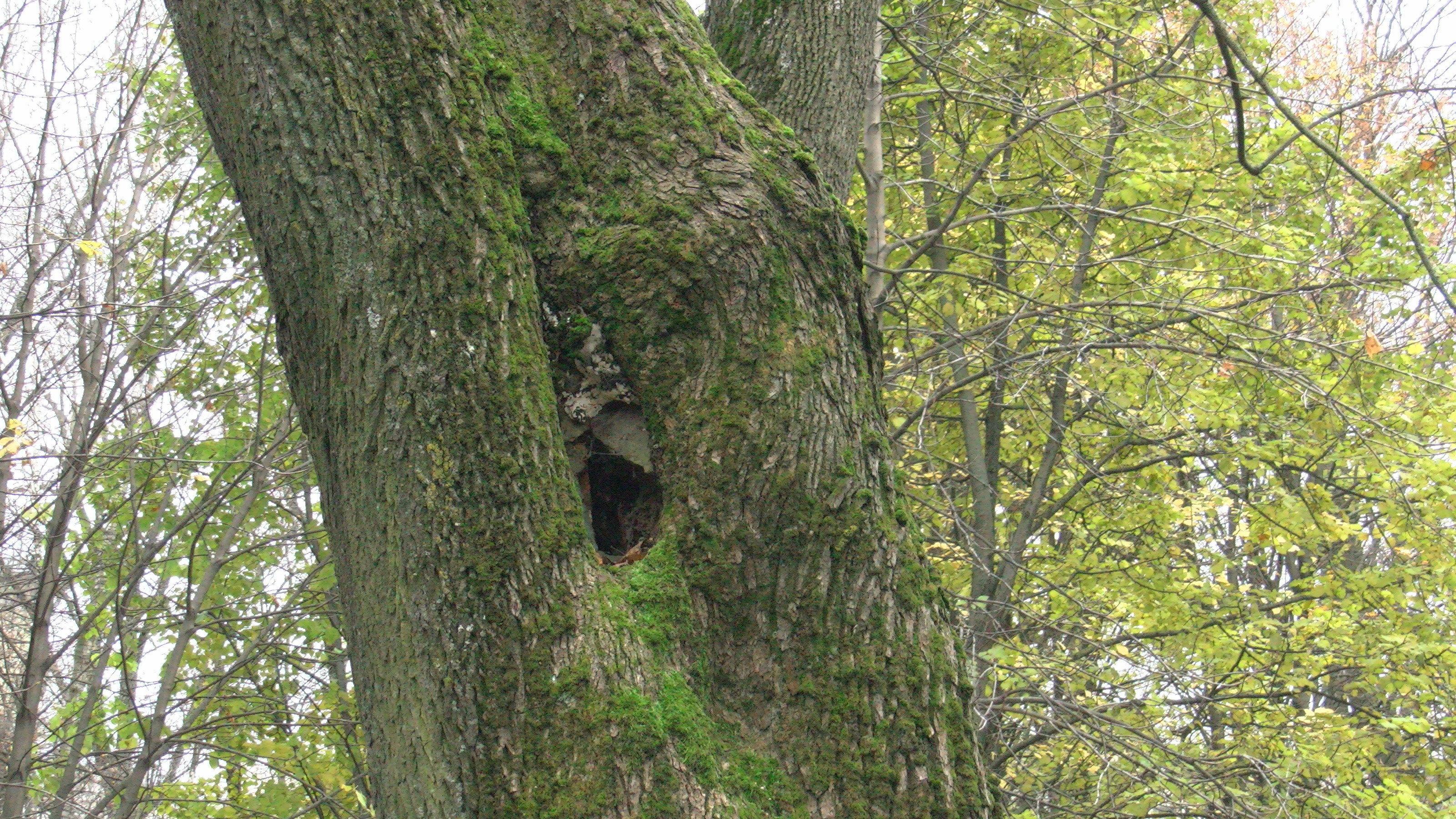 Зарастить срез от толстой ветки у дерева в городе нередко не хватает сил, образуются дупла, и рано или поздно его придется спилить