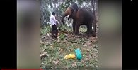 Агрессивный слон отбросил мужчину, когда тот попытался на него залезть