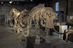 Скелеты семьи мамонтов, найденные в Сибири, уйдут с молотка