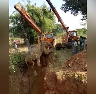 В Индии спасли упавшую в пустой колодец слониху
